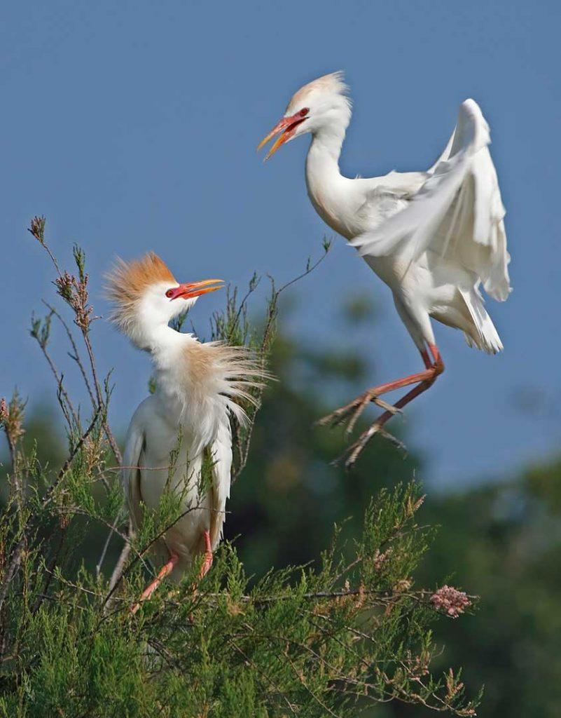 Marais aux Oiseaux, Oléron, Heron-garde-boeufs