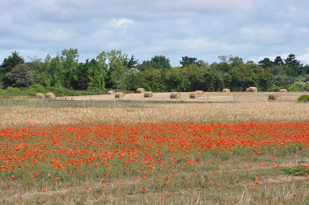 Agriculture île d'Oléron, champs vers la Rémigeasse