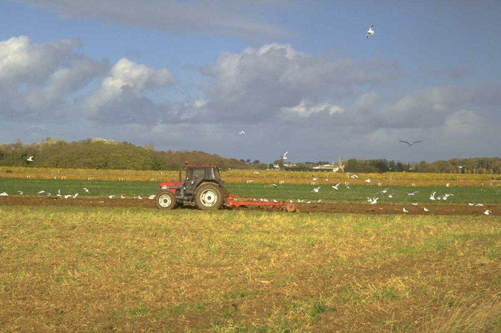 Agriculture île d'Oléron, labour parmi les mouettes