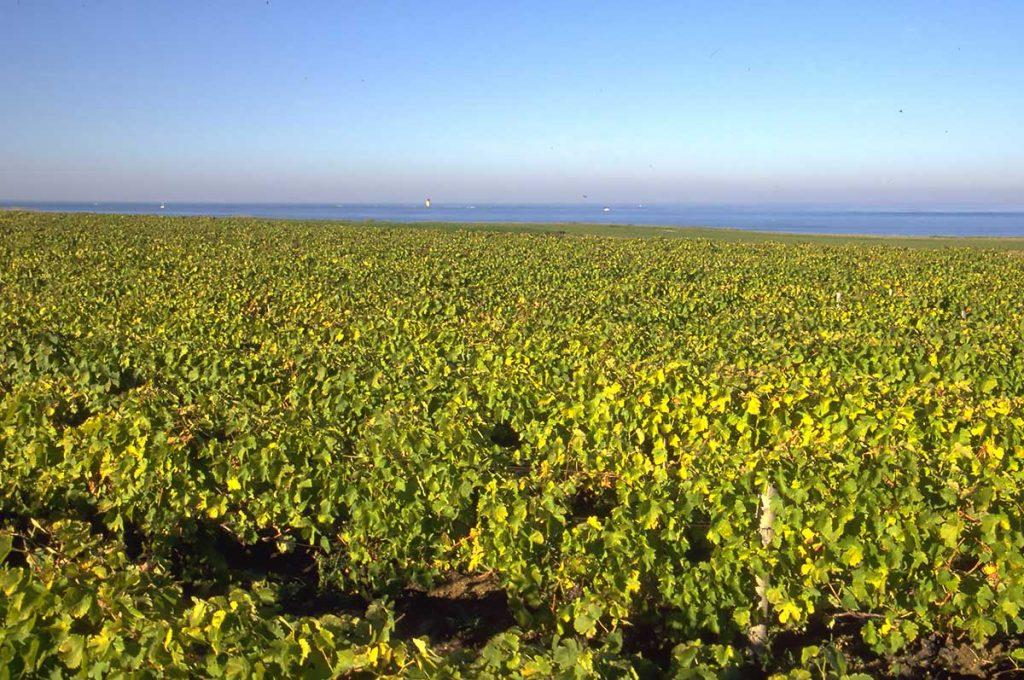 Agriculture île d'Oléron, vigne à Chassiron
