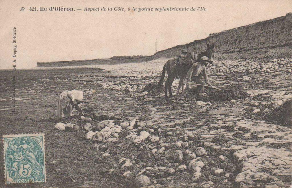 Histoire de l'agriculture île d'Oléron, récolte du varech