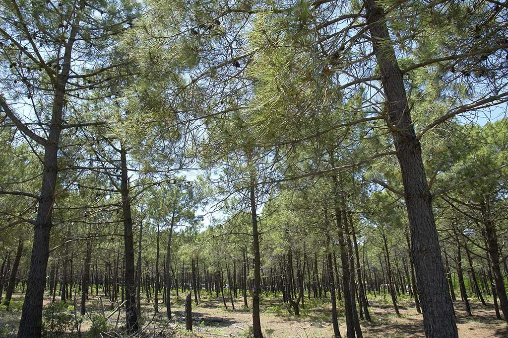 Forêt de pins, île d'Oléron.