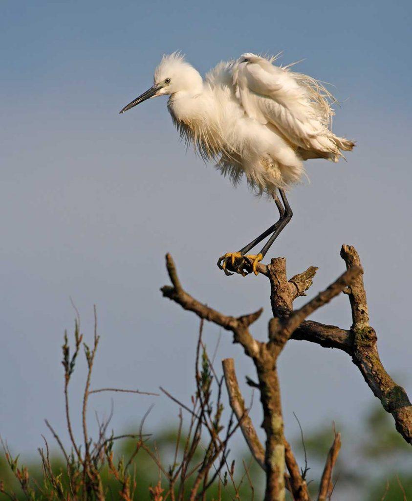 Oiseaux d'Oléron, les lagunes de la Pétaudière, Aigrette garzette