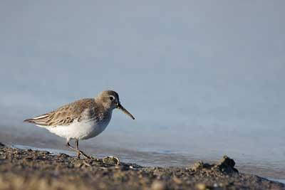 Oiseaux de l'île d'Oléron : Bécasseau variable
