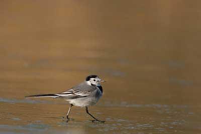 Oiseaux d'Oléron, Bergeronnette grise