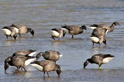 Oiseaux du littoral Oléron, Bernaches cravants