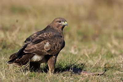 Oiseau de l'île d'Oléron, Buse variable