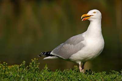 Oiseaux d'Oléron, Goéland argenté