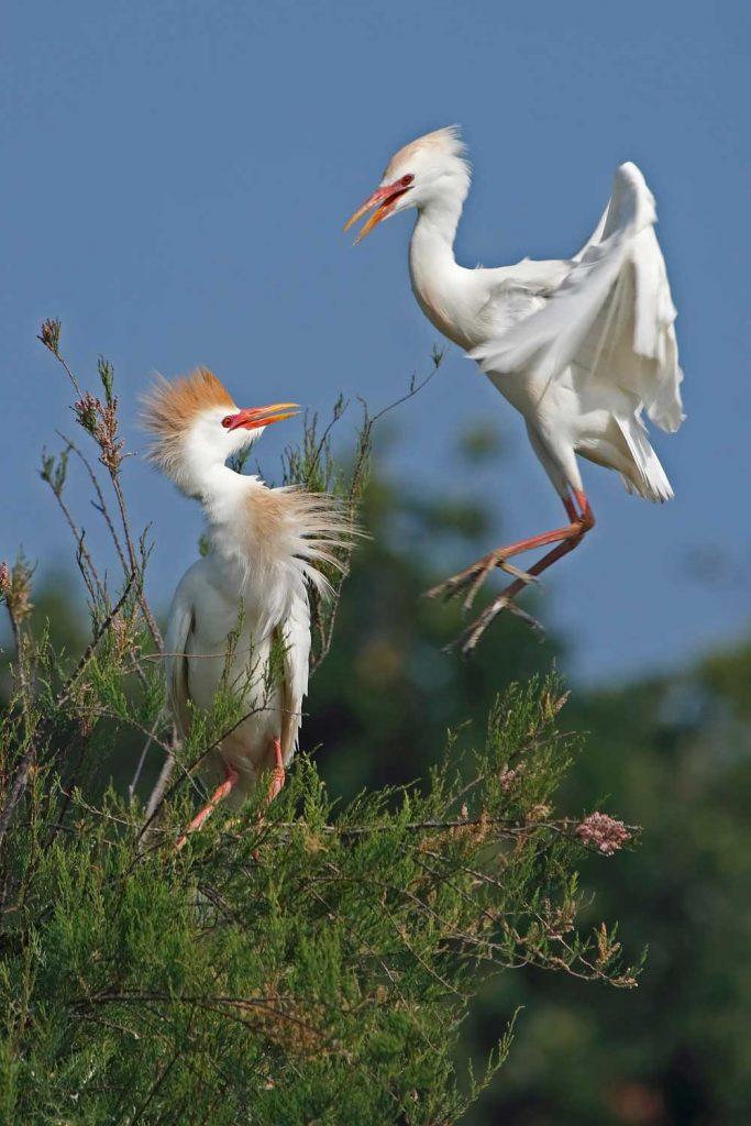 Oiseaux des Salines d'Oléron, Héron garde-boeufs