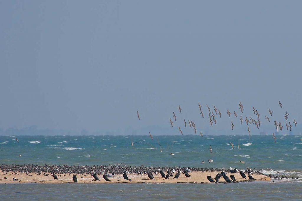 Oiseaux du littoral Oléron, Limicoles