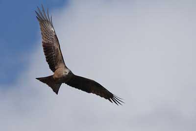 Oiseau de l'île d'Oléron, Milan noir