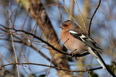 Oiseau de l'île d'Oléron, Pinson des arbres