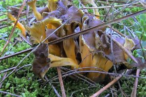 Champignon de la forêt d'Oléron, la chanterelle modeste