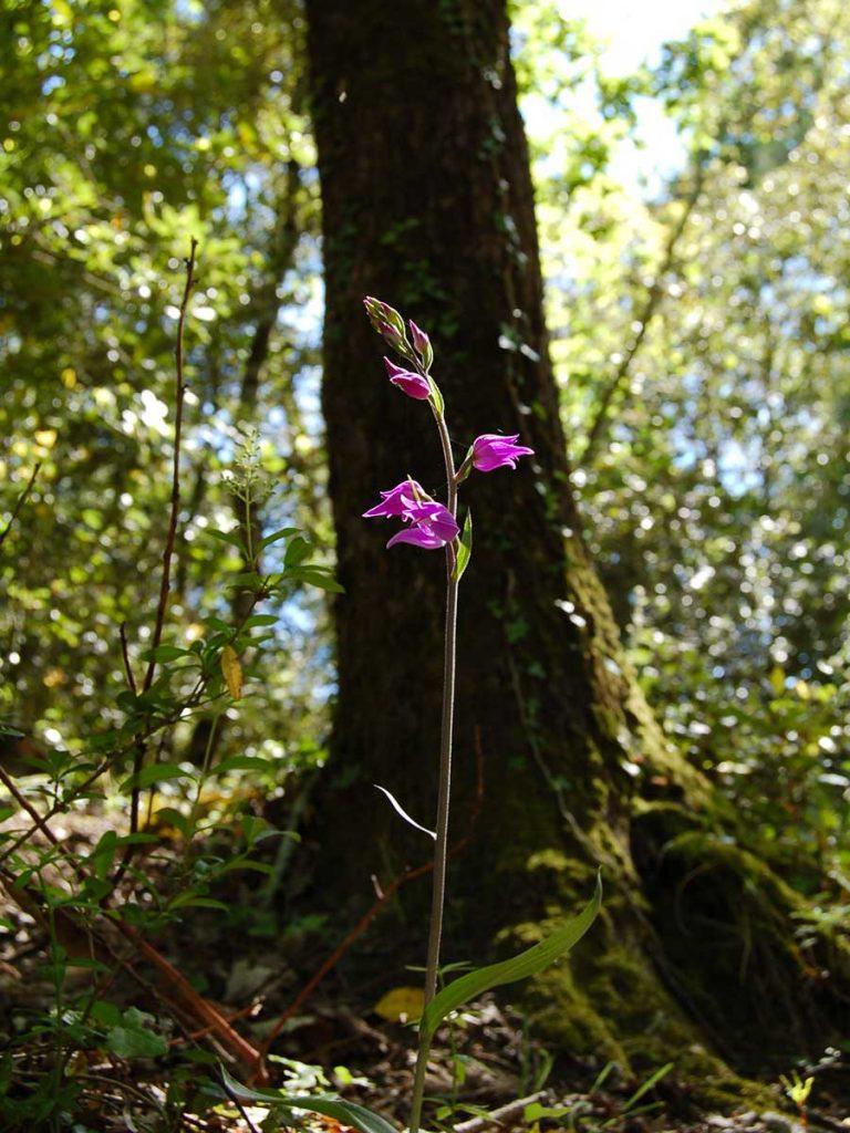 Flore de la forêt, Céphalanthère rouge