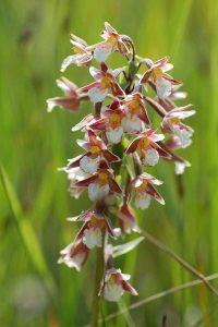 Flore de l'île d'Oléron, Epipactis des marais