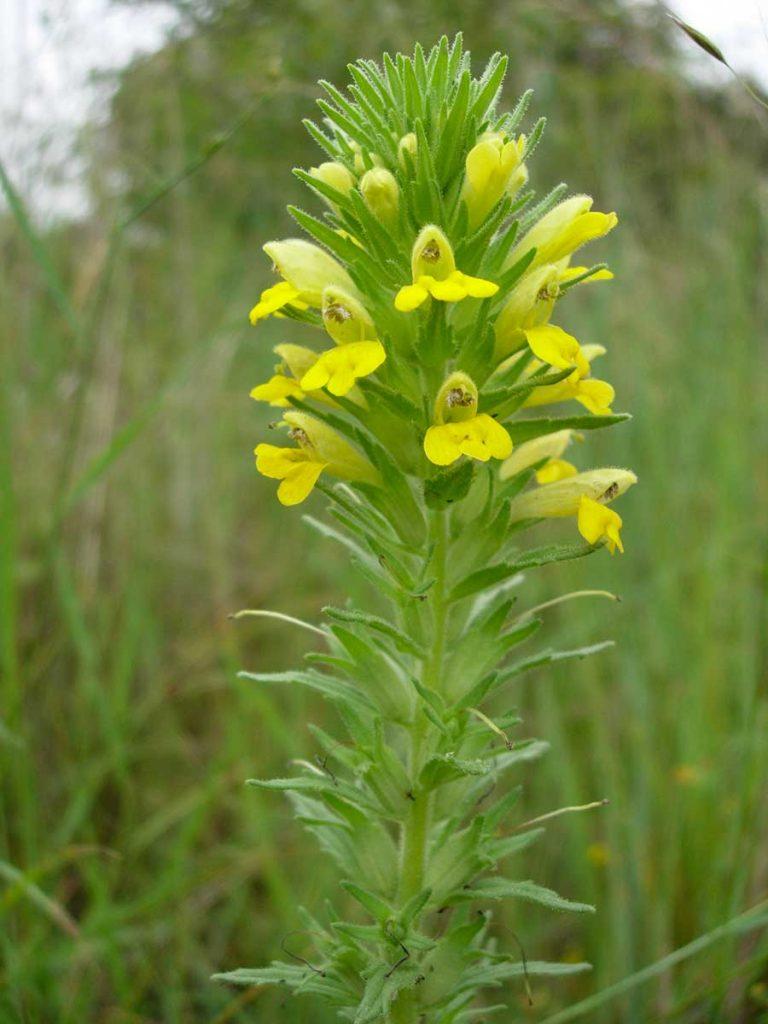 Flore d'Oléron, Eufragie visqueuse