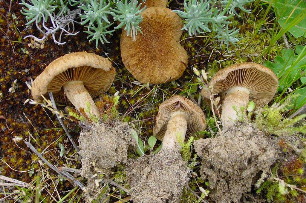 Champignons de l'île d'Oléron, Inocybe de Heim