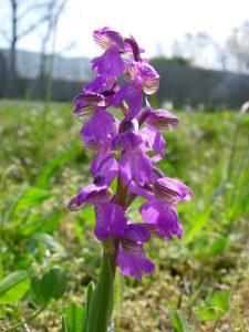 Flore d'Oléron, Orchis bouffon