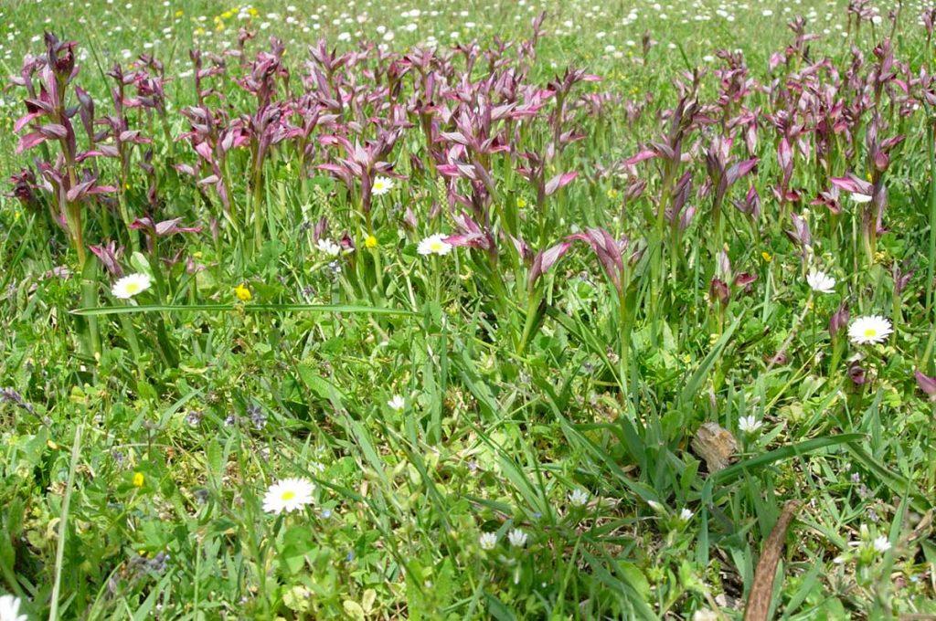 Flore d'Oléron, Serapias langue