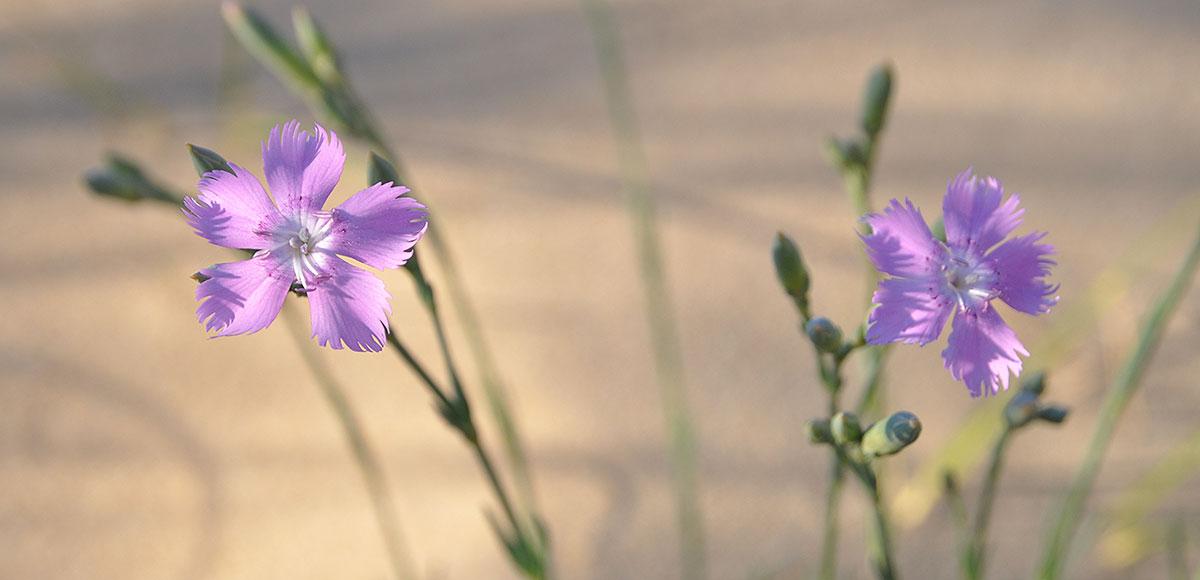 Flore de l'île d'Oléron