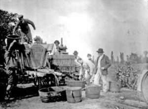 Vendange en 1903, St Denis d'Oléron