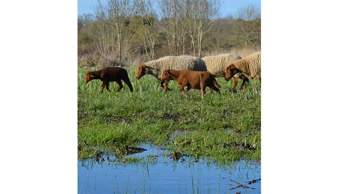 Journées agricoles d'Oléron - Marais de la Perroche