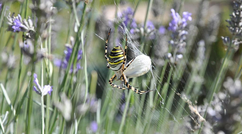Araignée, insecte, île d'Oléron