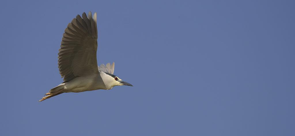 Faune Oléron, le Bihoreau gris - vol