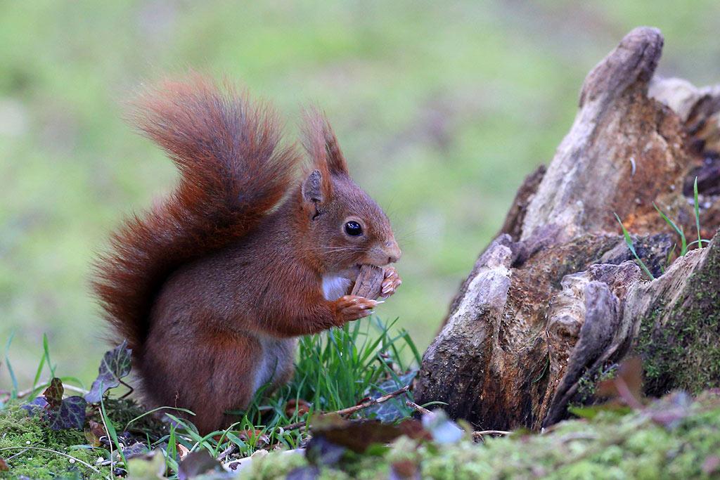 Faune Oléron : l'Écureuil roux