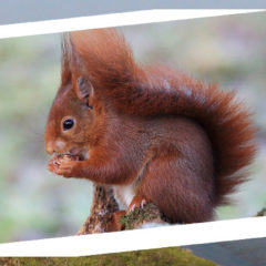 L'Écureuil roux