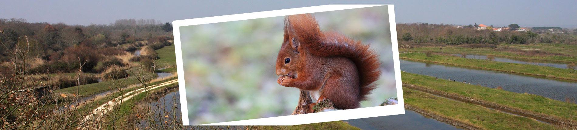 La faune de l'île d'Oléron : l'Écureuil roux