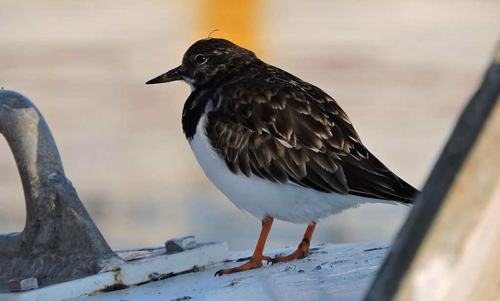 Sortie de la Renarde : les oiseaux hivernants à Oléron